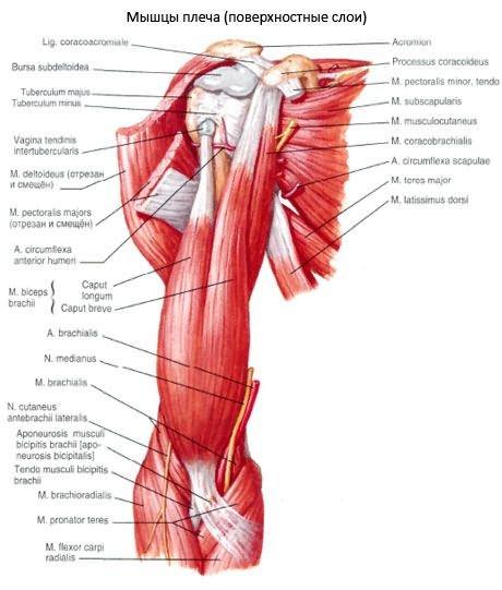 Az emberi vállízület szerkezete - Csukló