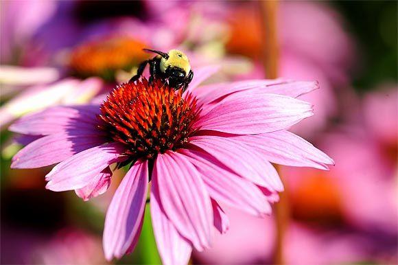 Echinacea - Kasvirág