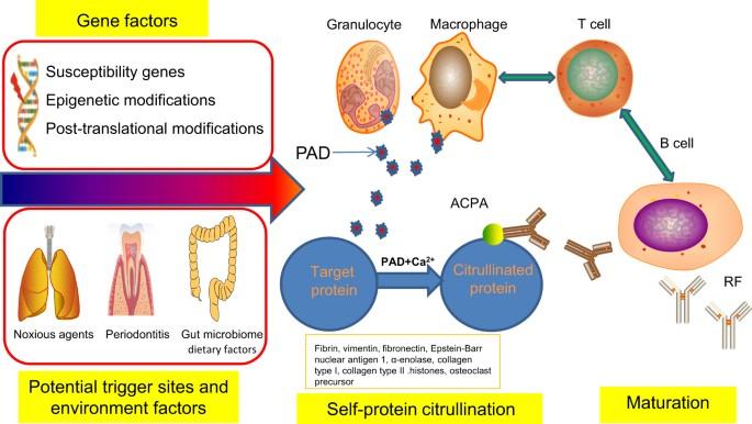 rheumatoid arthritis pathogenesis