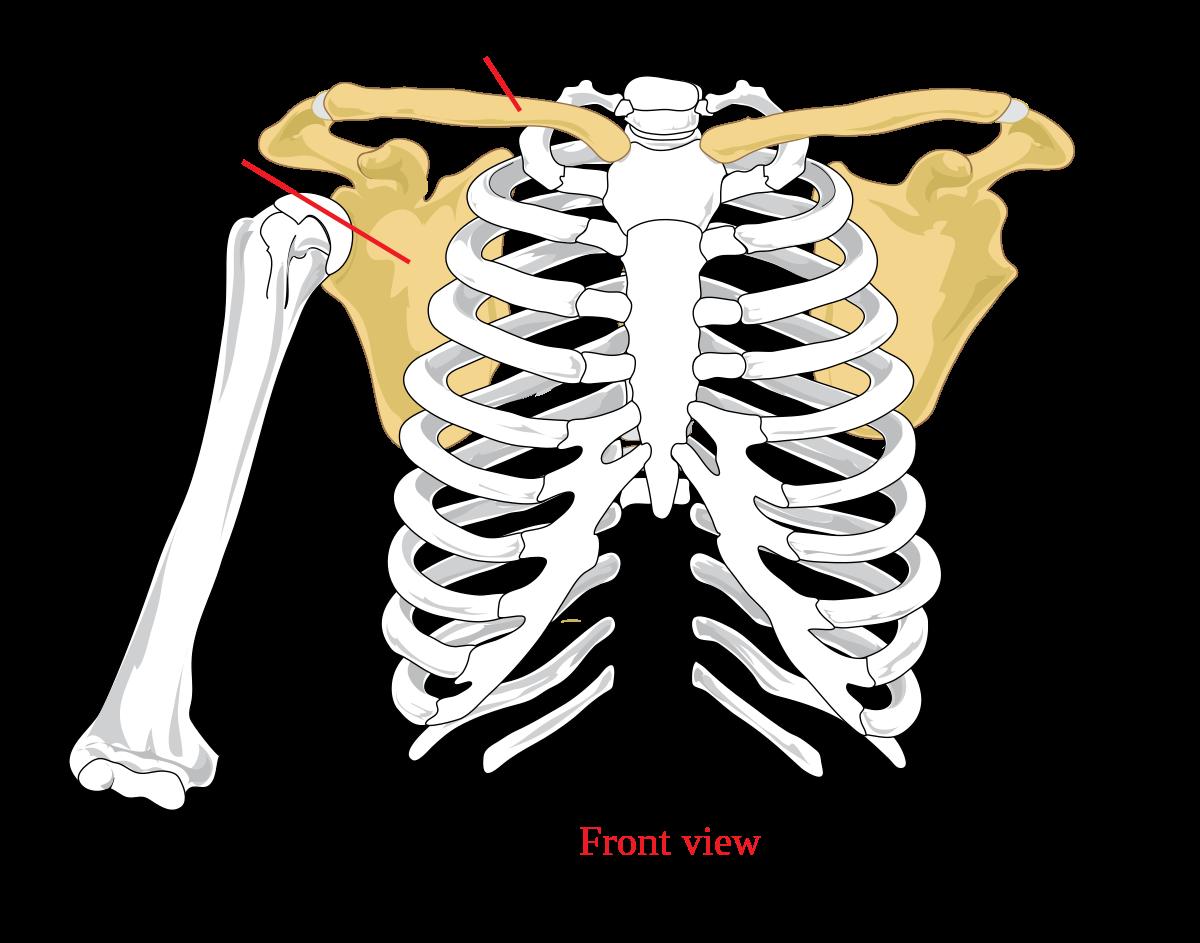 az acromialis clavicularis ízület)