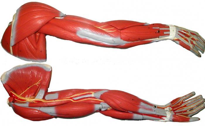 A deltoid izom. Jellemzői képzés.