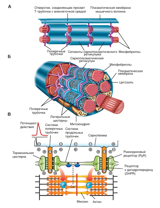 szálas kötőszövet-sejtek regenerálása)